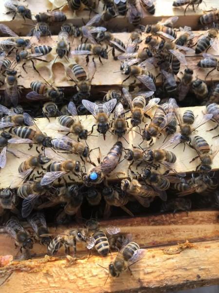 Bienenkönigin kaufen - Königin mit Hofstaat